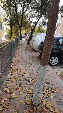 Copaci trotuar Str. Petre Ionescu 2