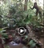 Piton capturat in Indonezia