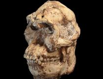 Craniul lui Picior Mic (Foto: Universitatea Witwatersrand)