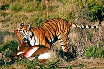 tigru amoy