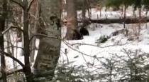 Ursuleti in padure