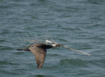 Cormoran mare