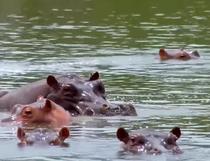 Hipopotamii, ciudata mostenire a lui Escobar