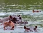 Hipopotamii lui Pablo Escobar continuă să se înmulţească, iar Columbia nu ştie cum să rezolve această problemă