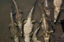 Pod de crocodili