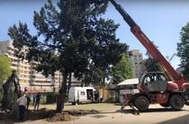 Stramutare copac