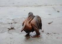 Animalele si scurgerile de petrol