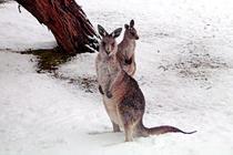 Canguri în zăpadă