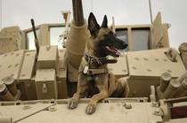 Malinois in armata