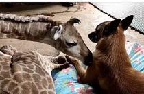 prietenia dintre o girafa si un caine