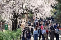 Japonia, explozia florilor de cireș în timpul epidemiei de coronavirus
