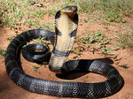 Cobra (f: Anand Titus)