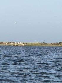 pasari flamingo in Delta Dunarii