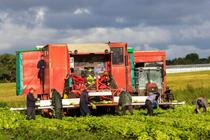 Lucratori agricoli la cules de salata
