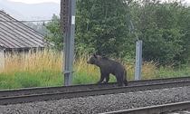 Ursoica isi cauta puii loviti de tren