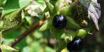 Fructe de Matraguna
