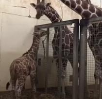Girafa Margareta