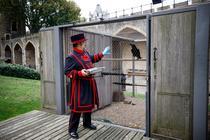 Ingrijitorul regal Chris Skaife hranind corbii de la Turnul Londrei