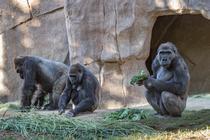 Gorile din San Diego