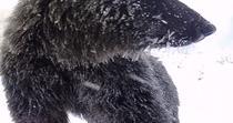 Ursi curiosi