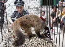 Zibeta intr-o ferma de animale salbatice din China