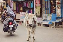 Vaca intr-un oras din India