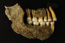 Mandibula unui om de Neanderthal descoperita intr-o pestera din Belgia