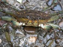 crabul verde european