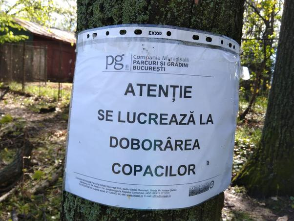 Taiere copaci verzi in Herastrau