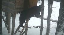 Ursul a furat un sac de porumb