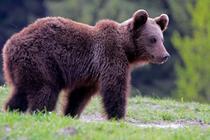 Urs din Romania