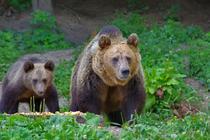Ursi din Romania