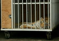 Tigrul bengalez India a ajuns in custodia autoritătilor texane