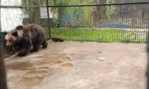ursoaica batrana
