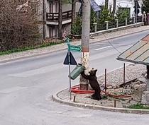 Urs in Sinaia