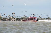 O barca intra in stol de pelicani in Delta Dunarii