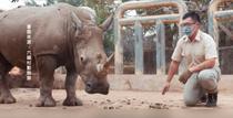 Emma, rinocerul alb