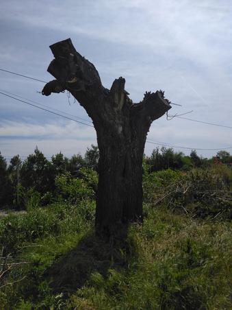 Toaletarea in batjocura a copacilor in Scrioastea, Teleorman