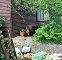 Ursi la o pensiune din Sacele