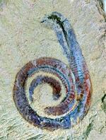 Crustacee antice