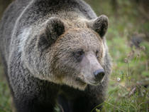 Urs brun in salbaticie