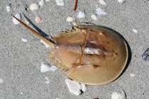 Crab -potcoava