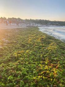 alge pe litoralul romanesc