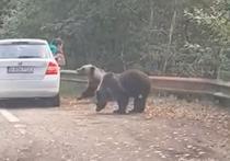 Atac urs pe Transfagarasan