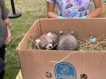 pui de panda rosu, la Zoo Brasov