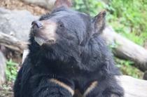 Ursul brun asiatic