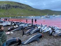 Delfini masacrati in Insulele Faroe