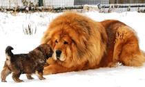 Leul canin sau câinele leonin?